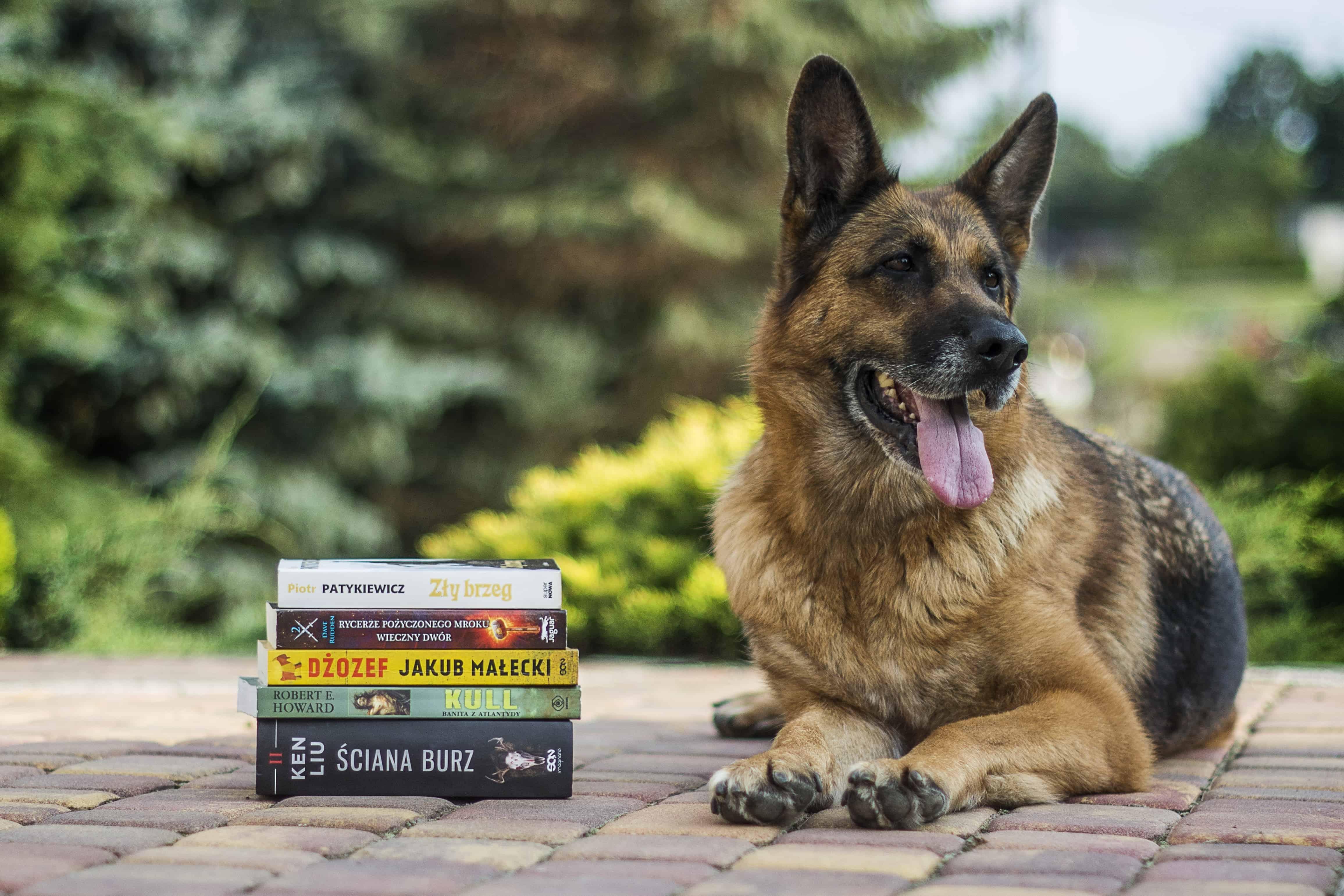 Duitse-herder-slimste-hond