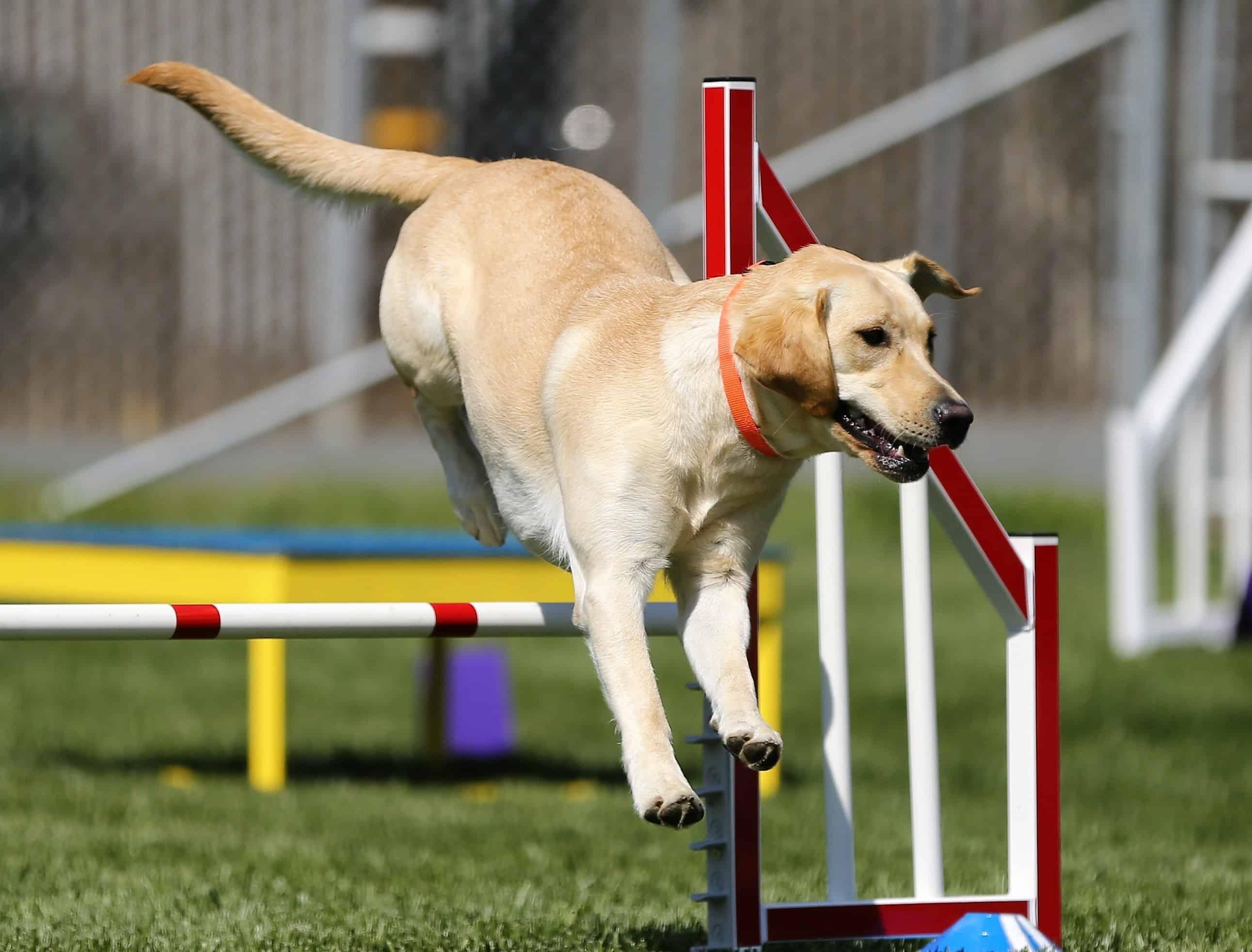 hond laten afvallen met beweging
