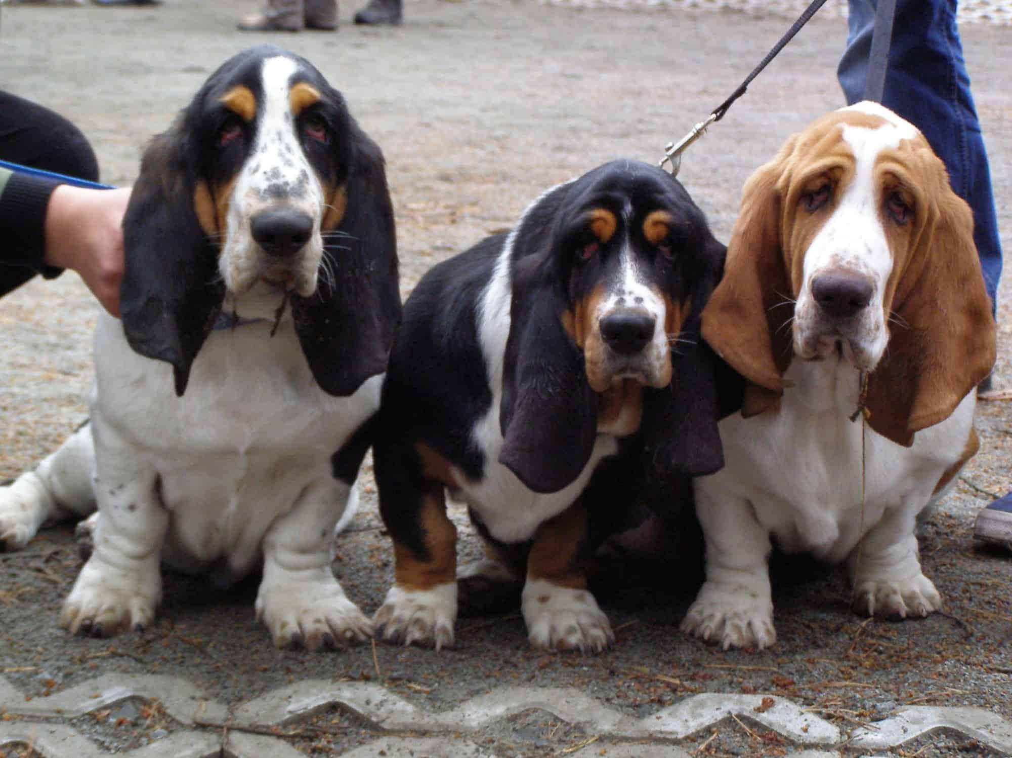 minst-slimme-honden-basset-hound