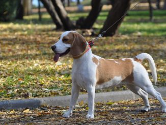 beagle ras