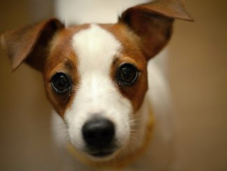 jack-russell-terier