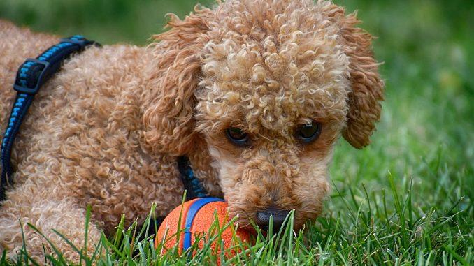 85df2d874b2 De Poedel, één van de slimste honden - Hond & Familie