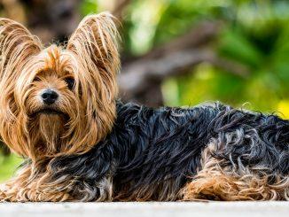 yorkshire terrier ras